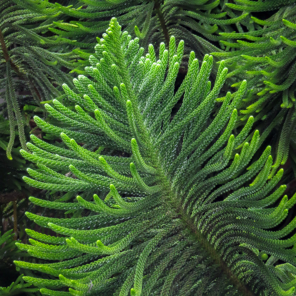 Norfolk Island pine is not a pine, but a popular jungle non-native landscape.