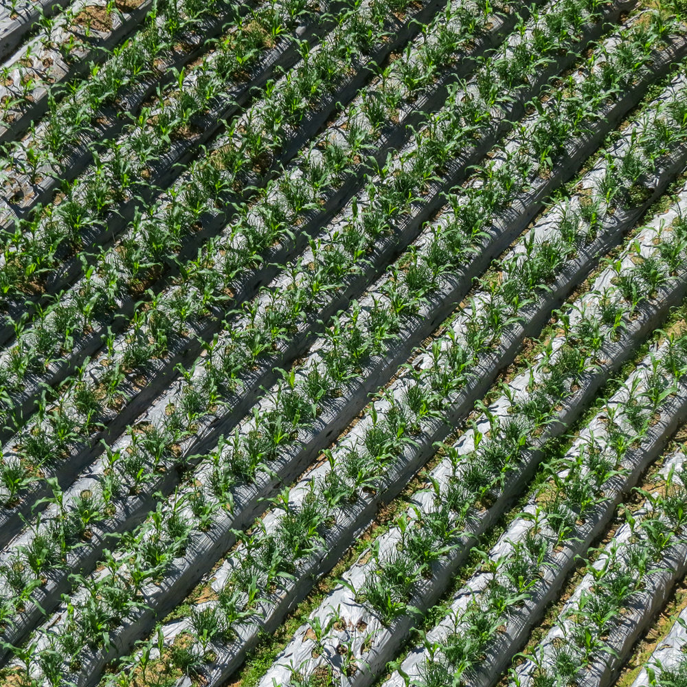 Rows of new corn in the Cameron Highlands.
