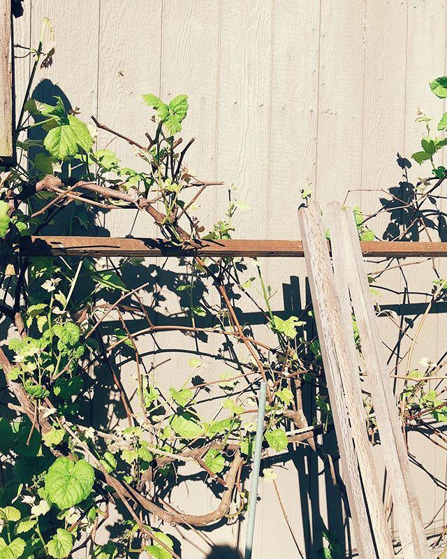 new growth #grape #vine #sun #vsco