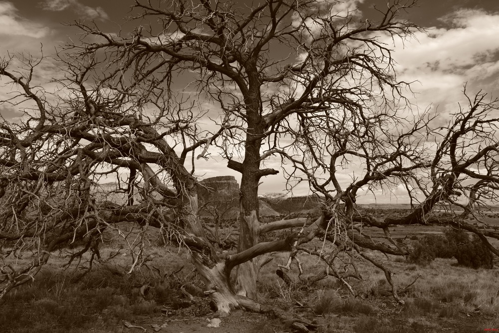Ghost Ranch Tree Sepia