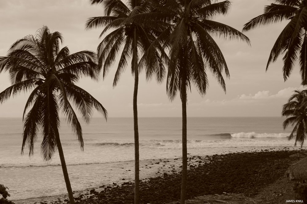 Palm Trees K59 Sepia