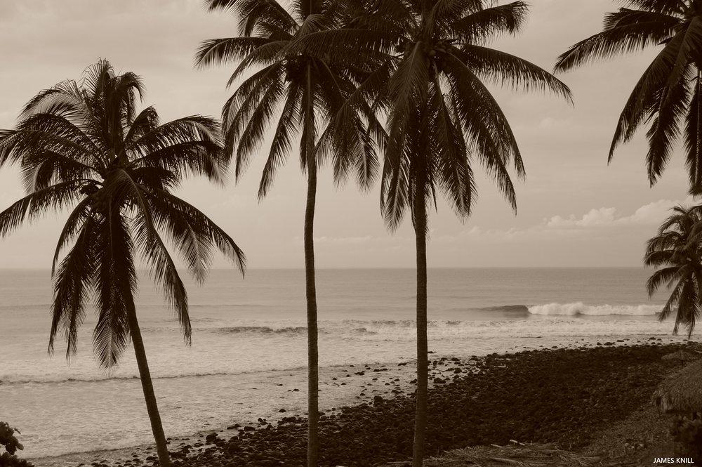 Palm Trees K59
