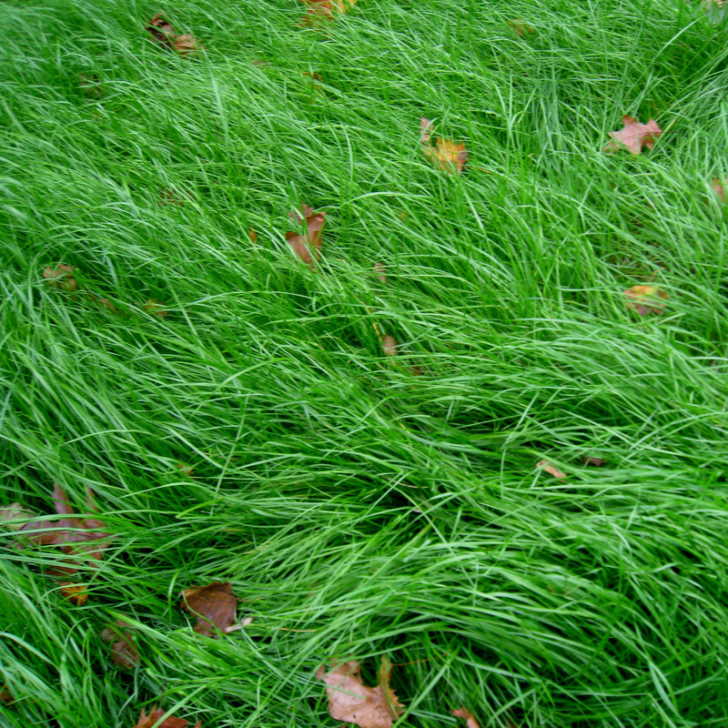 No Mow Lawn - We understand there is a place for lawn in a landscape, and we want to offer a lower maintenance and more ecological version. Flexible in its aesthetic and maintenance requirements, this is a great step in developing a more ecological landscape.