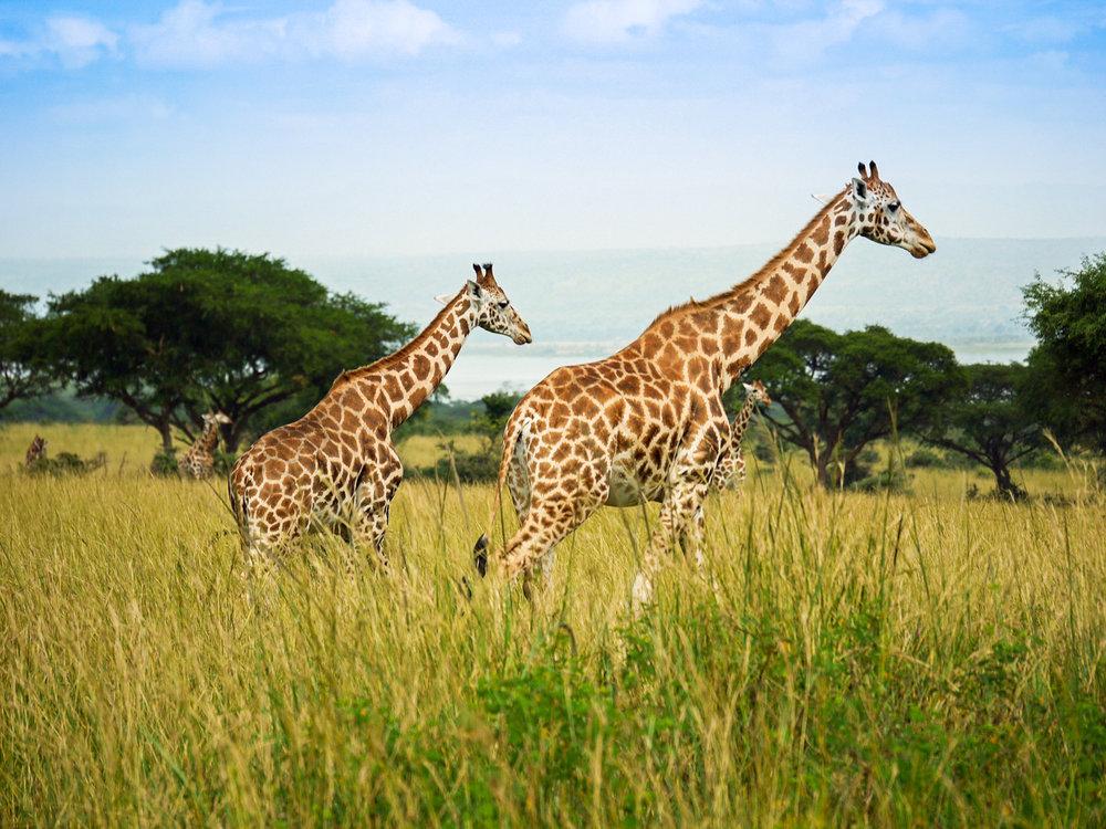rothschild-giraffes-1543686_1920.jpg