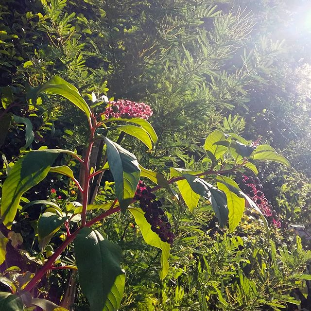 "Sumac bathing in an ethereal light | I am fascinated by this plant, which appears throughout Florence's rose garden. At the moment, in different areas, you can find clusters of bright red shoots, stems heavy with fuzzy, fading blooms, as well as stalks of these gorgeous berries. After rereading ""Walden"" earlier this year I think I may finally have identified this multi-faceted plant as a type of Sumac. ▪ #giardinodellerose #firenze #morninglight #autumnpalette #gardeninautumn #simplepleasures #naturalbeauty #sumac #berries #inthegarden #thisisfall #ethereallight #rosegarden #florence"