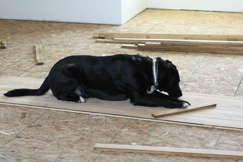 Zulu insisted on helping lay the flooring, as he was an integral part of most of these projects, and didn't want to be left out.