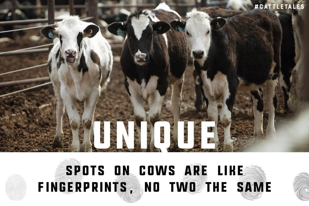 Holstein Spots.jpg