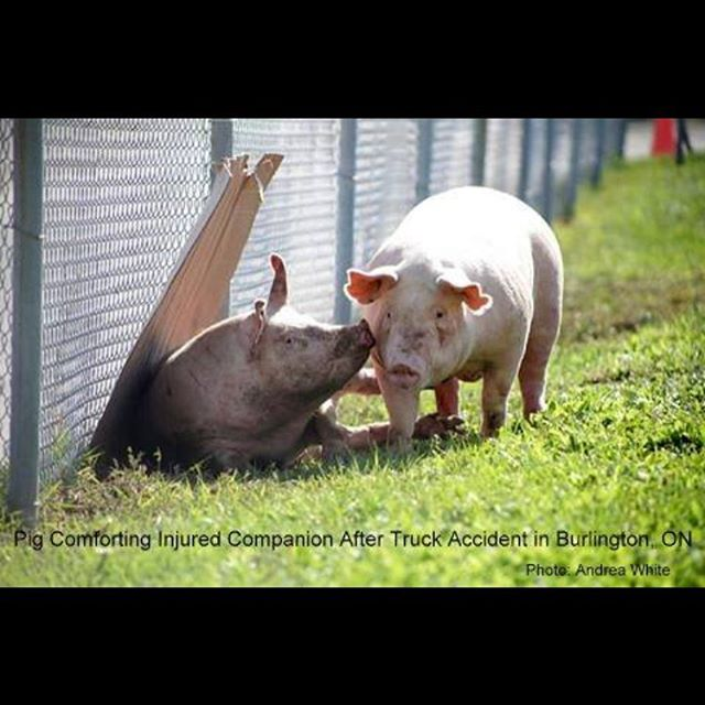 "Despite the efforts of activists, the injured pigs from the truck accident yesterday in Burlington were not saved. People begged and pleated. Steve Jenkins from @estherthewonderpig offered over and over again to take them home to rehabilitate and care for. He was denied. When an animal in the meat and dairy industry is injured the term for them is ""downer"", they are not to be sold and consumed.  The downed pigs at Fearman's yesterday were shot in the head with a bolt gun, their bodies were discarded like trash. Today on social media Steve quoted: ""They say a bad day only lasts for 24 hours, but it has been almost 24 hours since I left the crash site, and I still can't get the sounds out of my head. I tend to be a very logical person, and can usually make sense of most situations. But no matter how hard I try, I just can't wrap my head around what I witnessed yesterday. I never believed in Hell, until I went there and saw it for myself."" #wakeup #govegan #vegansofig #vegansofinstragram #torontopigsave #happilyeveresther #pigs #pork #ham #bacon #heartheirscreams #compassion #compassionforanimals #animalliberation #animalliberationnow #animalactivist #torontoveganflea"