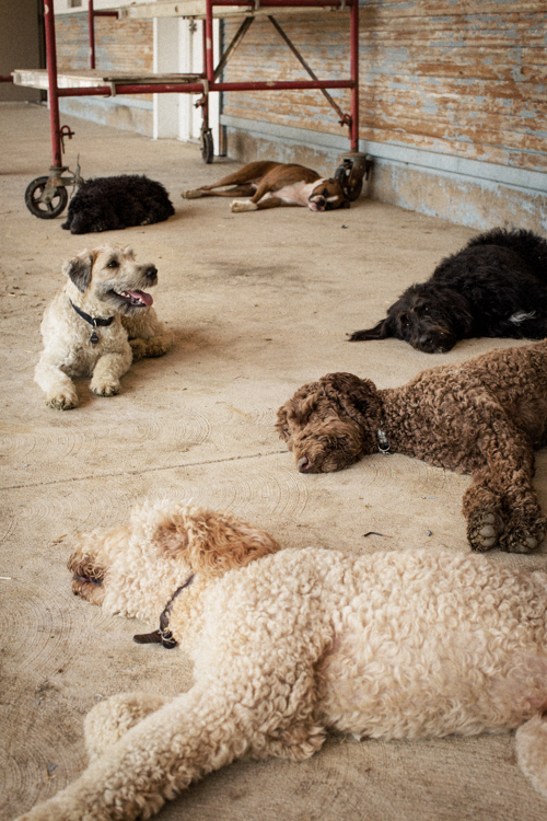 tired dogs at the barn