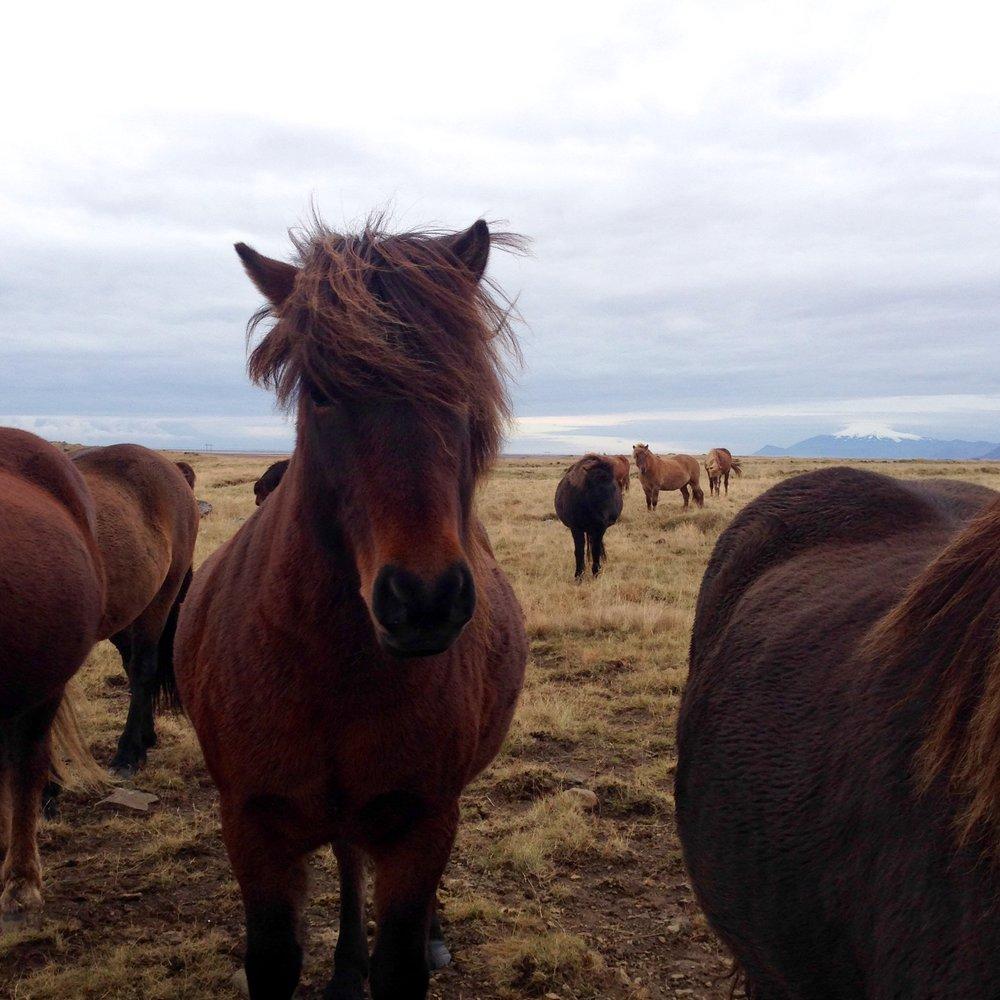 Stout Icelandic horses