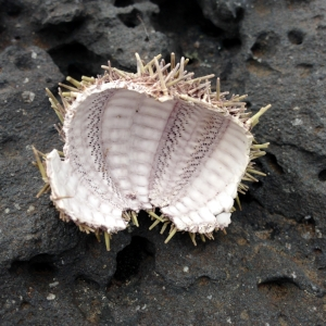 Sea urchin shell – a pretty contrast against the sooty lava field.