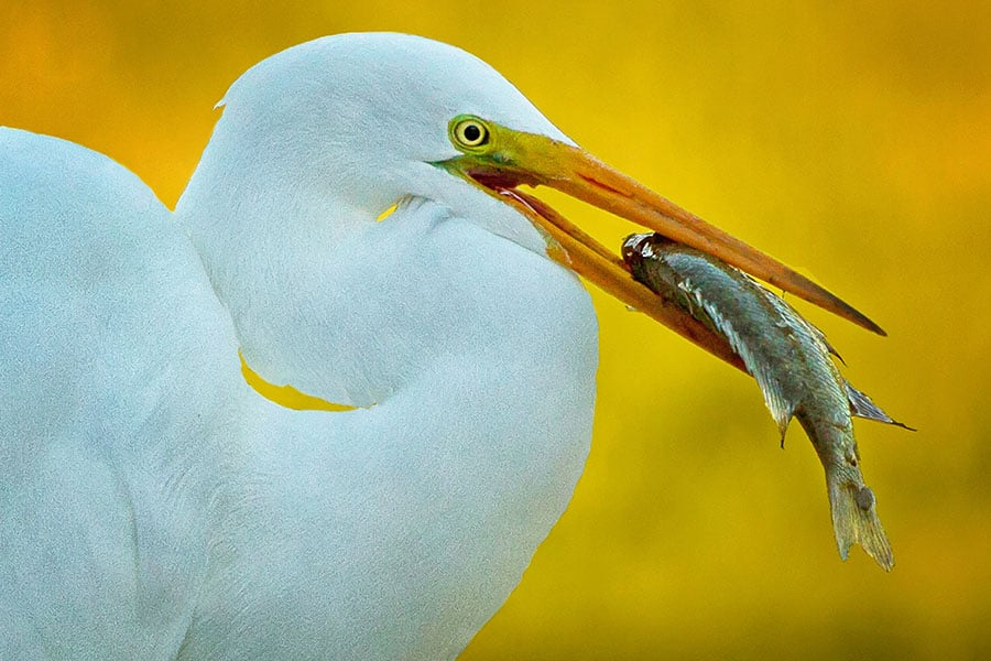 2012-0127_Great_Egret_Avery_Island-1BLURB.jpg