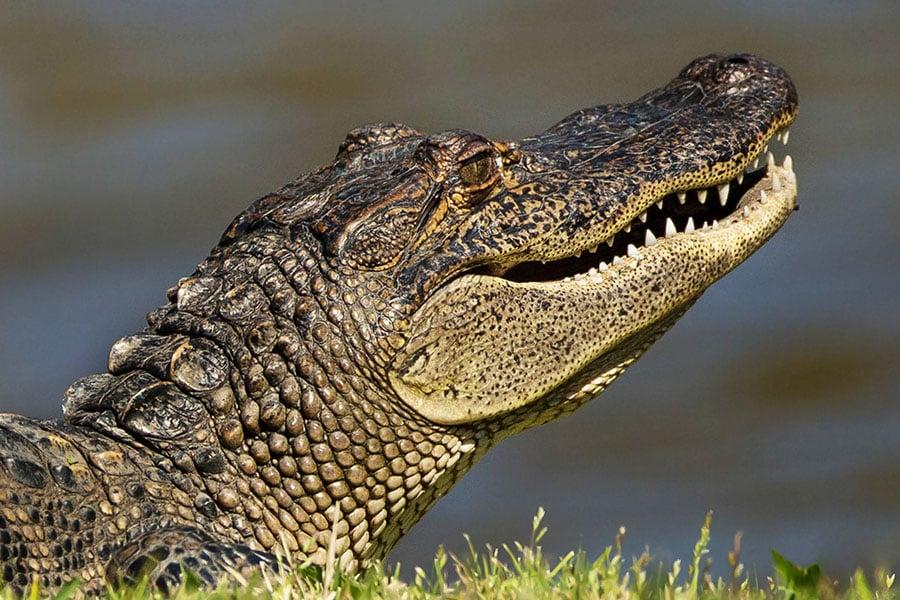 2013-0313_Alligator_10A.jpg