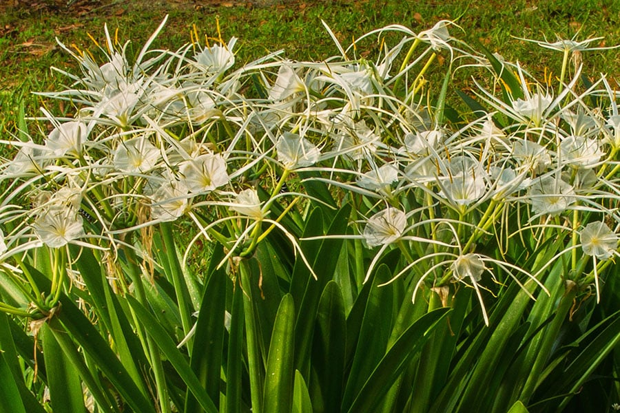 2014_0421_Spider_Lily_Avery_Island-1A-1.jpg