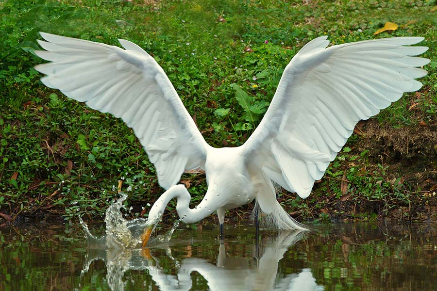 2012-0302_Great_Egret_Avery_Island-5A.jpg