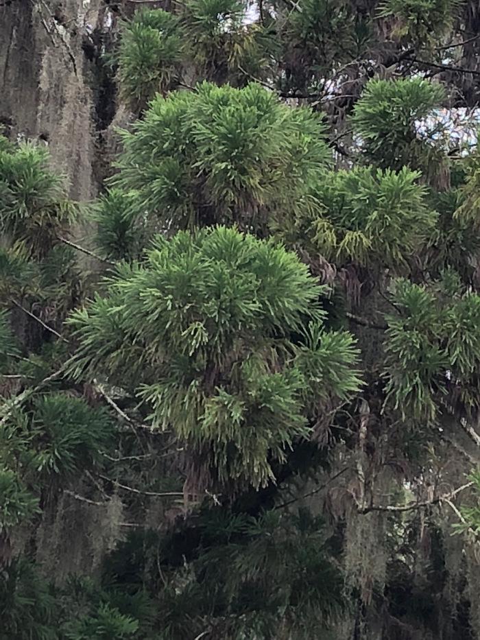 Cryptomeria foliage