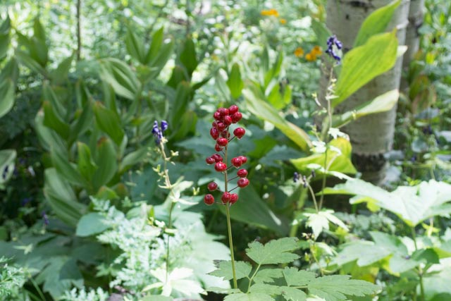 The berries of baneberry ( Actaea rubra ) are not edible. They hold toxic properties that can make you quite ill or be life-threatening.