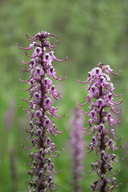 elephantella (Pedicularis groenlandica)