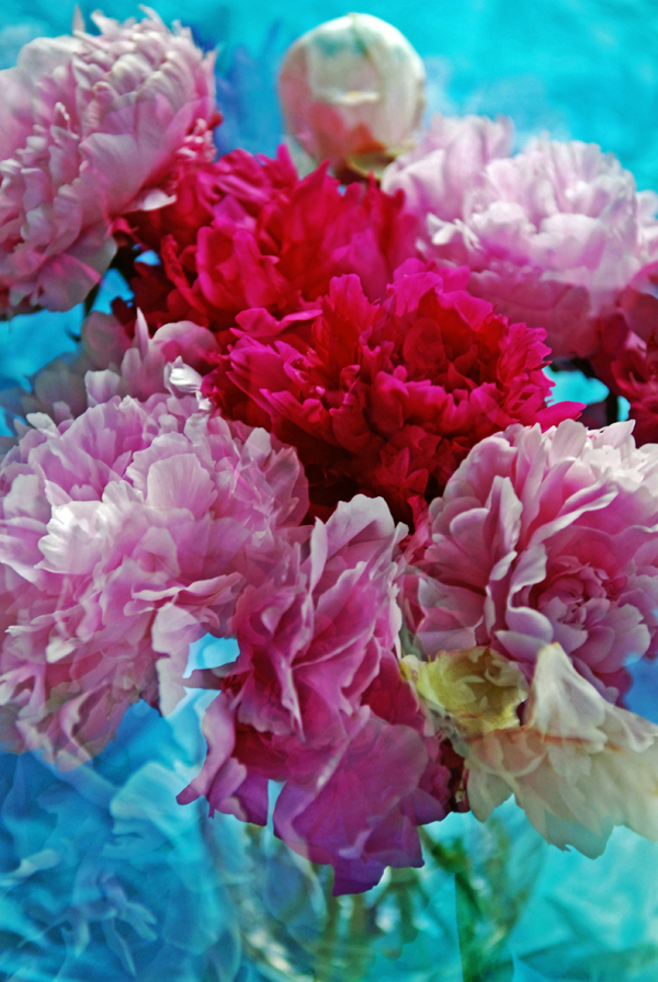 My June Peonies