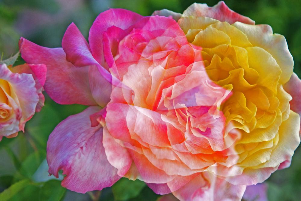 Mom's Roses!