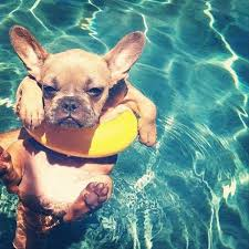 Frenchie in Pool