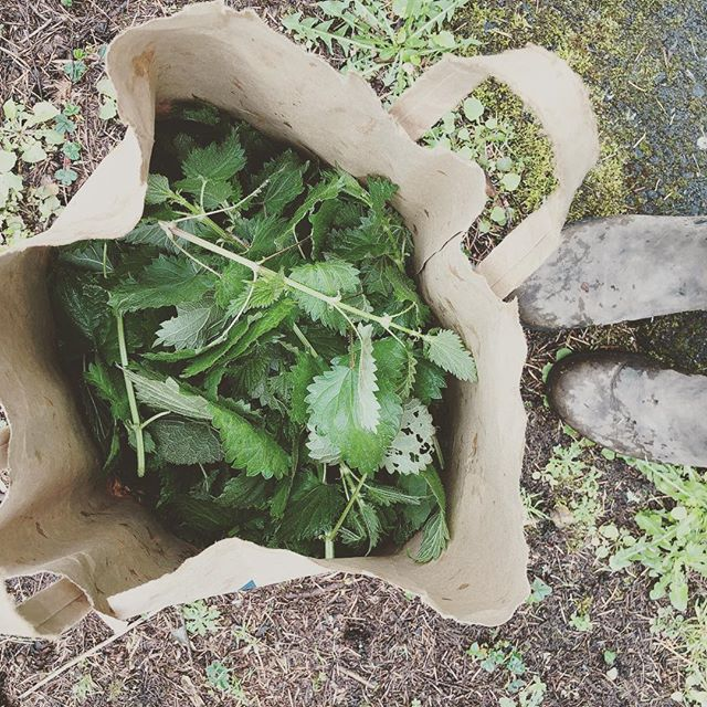 Midday break: foraging!!! Scored me some beautiful nettles (and a bit of rain). Looking forward to enjoying these nutritious buggers. It's always a bonus when you learn that something that seems like an enemy can be a friend. Great for seasonal allergies as a tea, and super high protein! Who would have guessed?! #foraging #huntingforplants #naturesabundance #optoutside #cookingwithnature #findyourfood