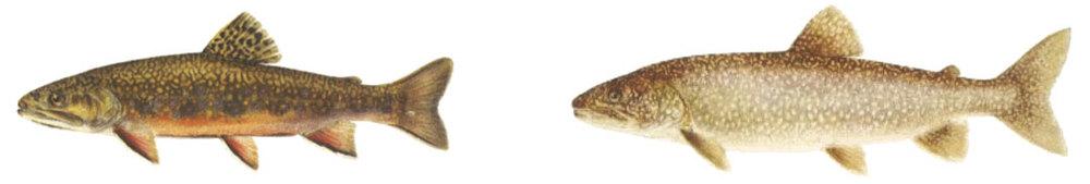 both-brook-lake-trout.jpg