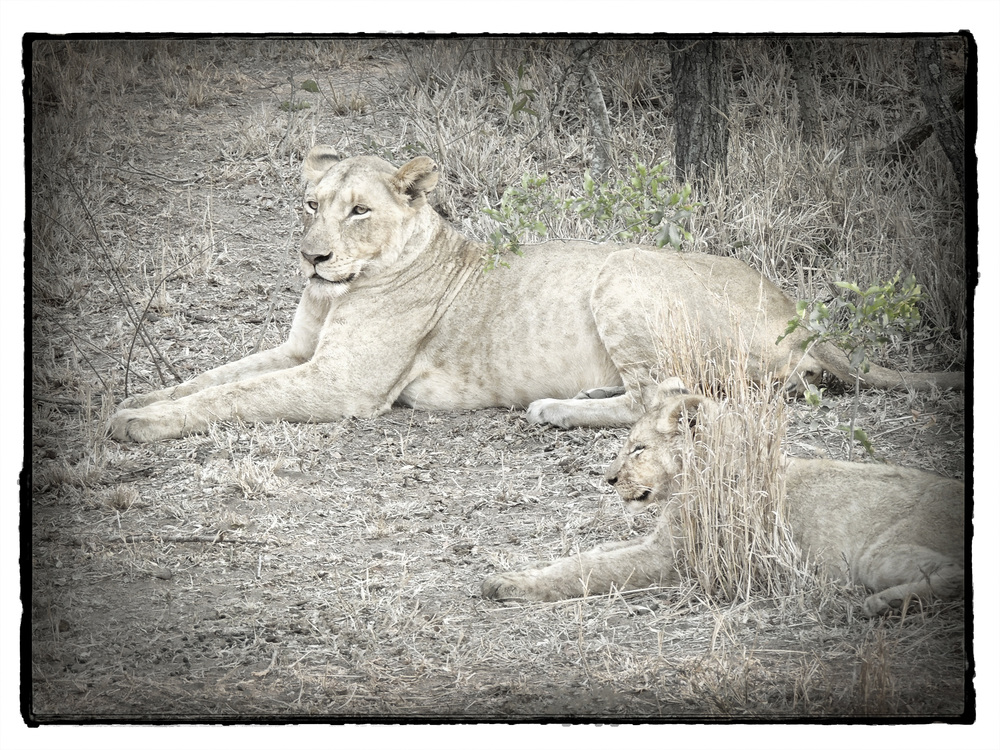 Thornybush #16