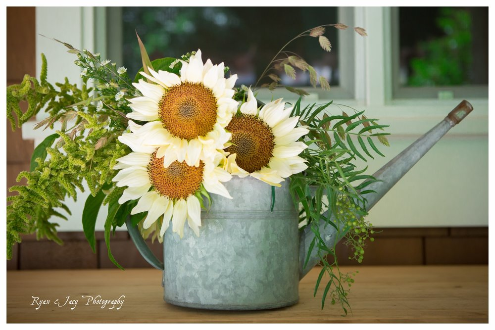 White sunflowers in watering can