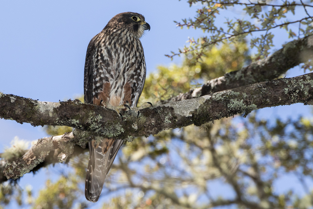 NZ Falcon Karearea