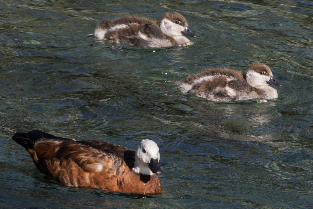 Paradise Duck Putangitangi