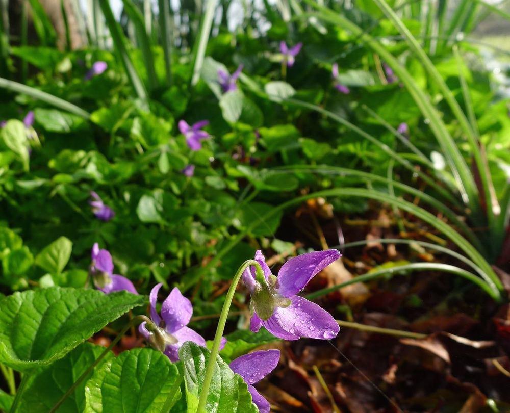 flowervore violets