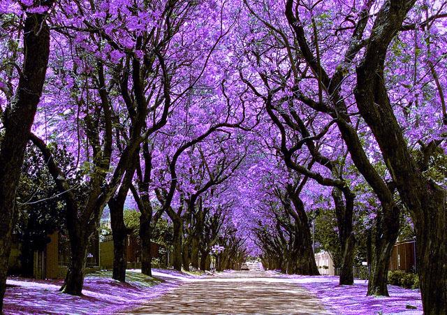 Jacaranda Snow (Johannesburg)