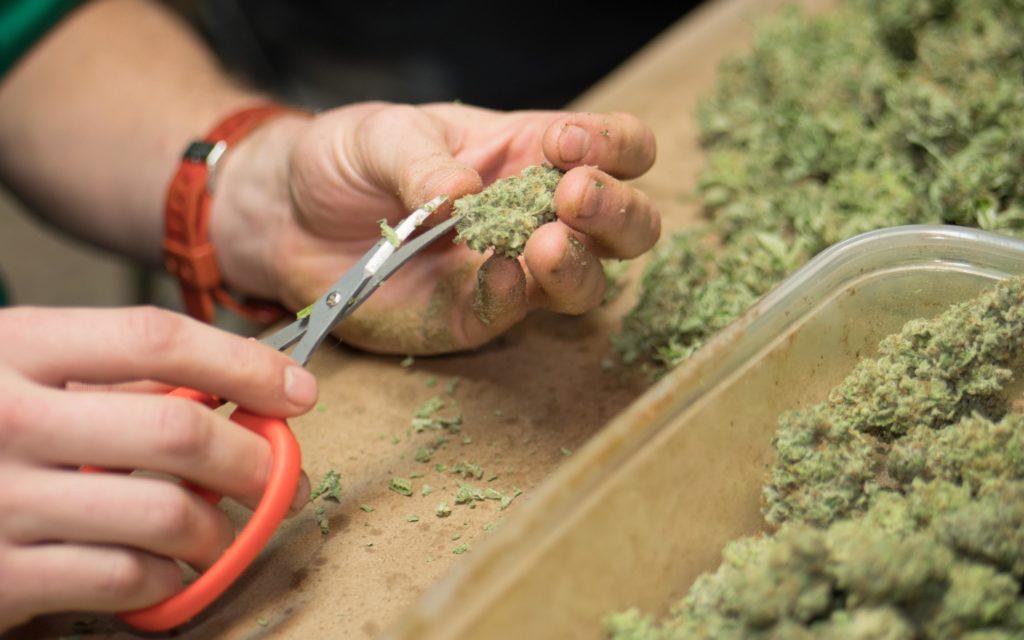 cannabis resume 101 hightimes