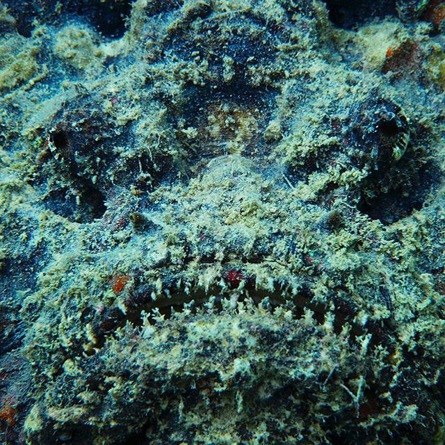 It's hard to see—but essential to avoid—a stonefish on a Pacific reef. If venom from its dorsal spines doesn't kill you, the pain is so great that you may find yourself begging for the affected limb to be cut off. The incredible dynamics of life! An extraordinarily diverse range of species have evolved venoms for predation, defence, or competitor deterrence. The major components of most venoms are peptides and proteins that are often protease-resistant due to their disulfide-rich architectures. Some of these toxins have become valuable as pharmacological tools and/or therapeutics due to their extremely high specificity and potency for particular molecular targets. There are currently six FDA-approved drugs derived from venom peptides or proteins. With new sampling technology this is not affecting wild populations at all. My friend Professor Johan Rockström and I just released a new book dealing with the fact the we surely need to safeguard the remaining beauty and biological diversity and use nature more sustainably. Check it out at: @bigworldsmallplanet! Photographed on assignment for @natgeo #venom #science #mattiasklum #protectouroceans #photooftheday #instagood @natgeocreative @mattiasklumcollection @thephotosociety @bigworldsmallplanet @nikonprofessional @natgeo