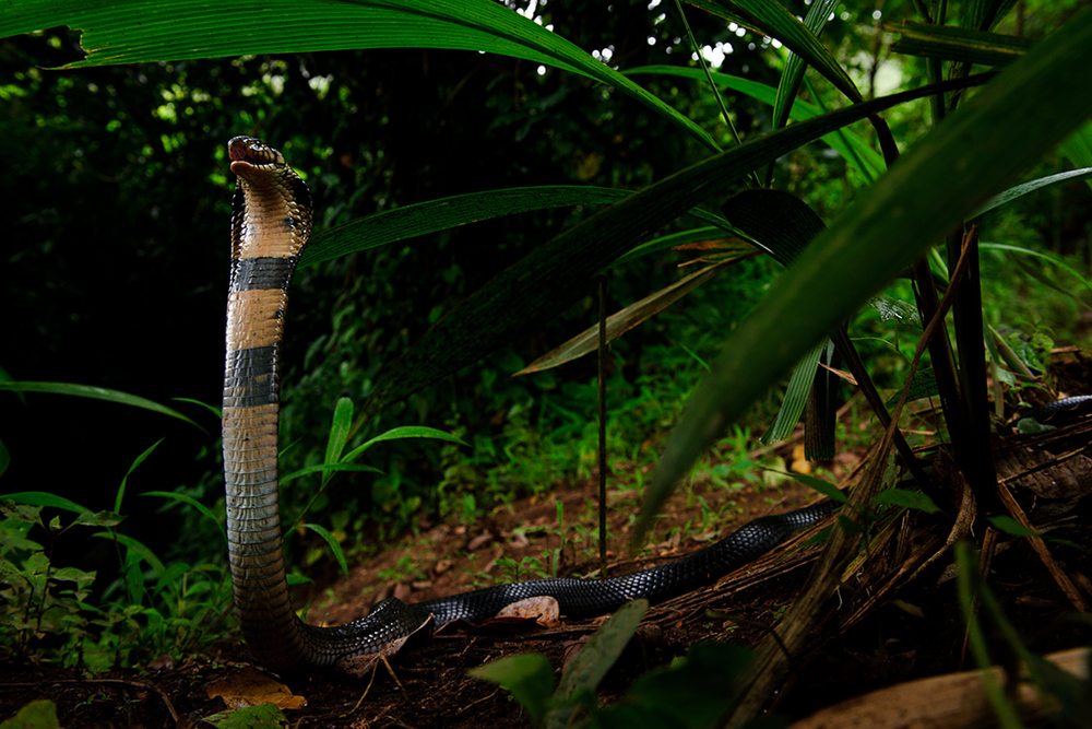 Forest cobra (Naja melanoleuca) in Mbanjong, Cameroon. The forest cobra lives on the rainforest floor. It's venom, in humans, causes neurotoxic and tissue damaging effects. There is however anti-venom for it.