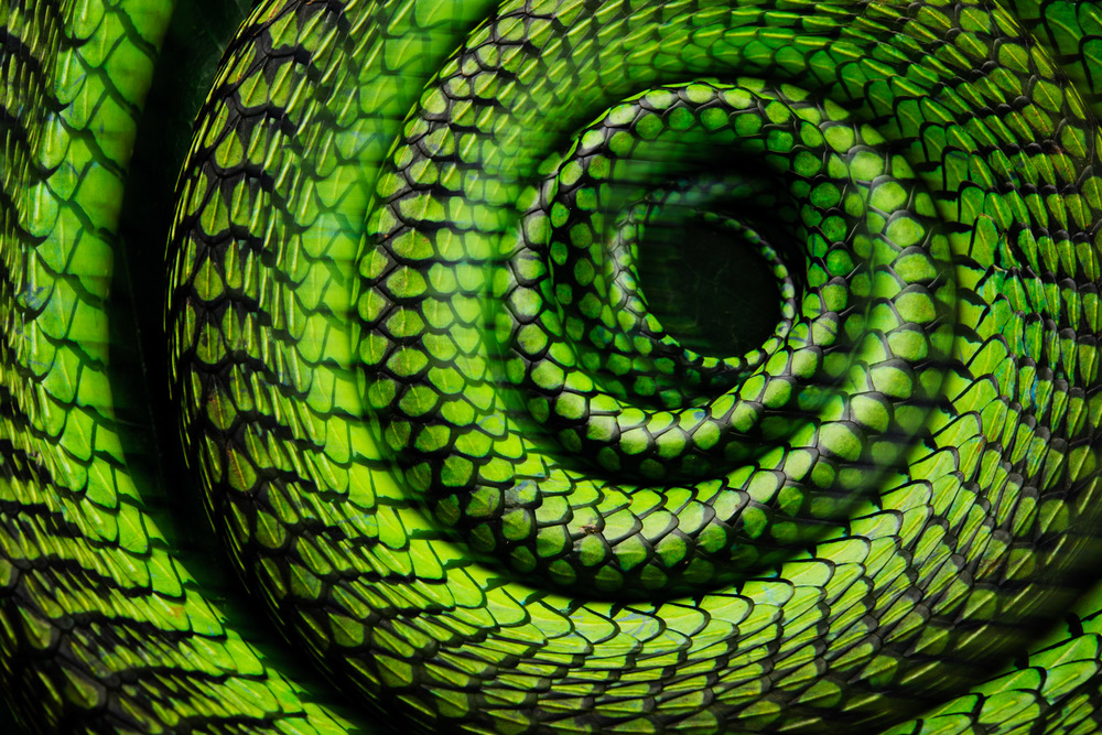 Deadly coiled-up beauty! The Boomslang is one of the most incredible snakes of Africa. It's diurnal and almost exclusively arboreal which makes it a challenge to photograph.