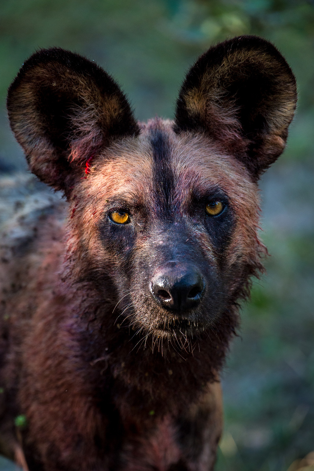 Those ears! The endangered African Wild dog! One of my favorite top predators photographed in Selous, Tanzania. Among the best hunters in Africa, wild dogs (or painted dogs) have a higher kill rate than lions and can take down antelope that weigh as much as 225 kilos (500 pounds). They are notorious for a grisly efficiency that has made some people fear and hate them, if not shoot them on sight. This beautiful apex predator is important in its ecosystem and needs to be respected and protected! African wild dogs hunt in successful cooperative packs of 6 to 24 animals. Larger packs were more common before the dogs became endangered.