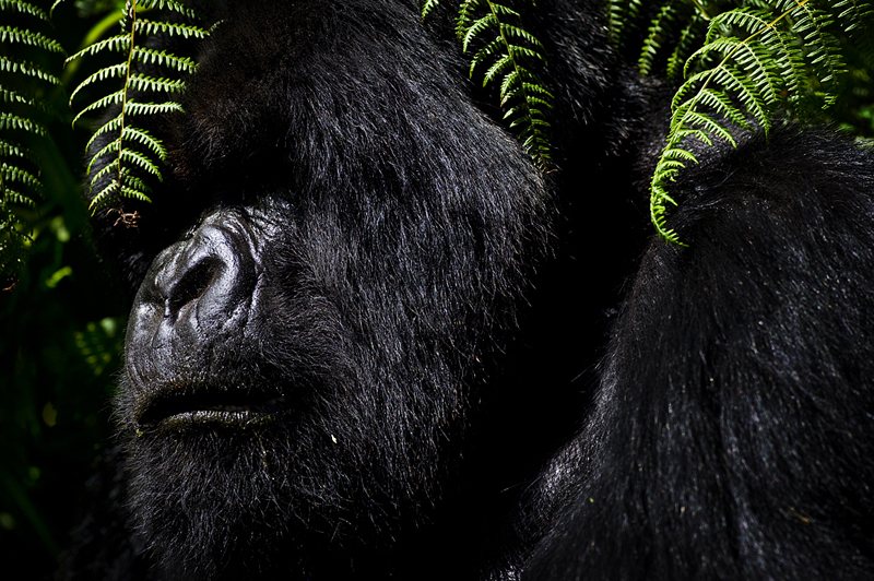 Human Apes