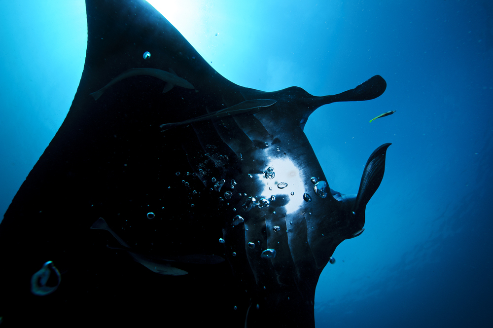 The giant Manta Ray (Manta birostris) is an elegant swimmer that drifts through the oceans, congregating at strong currents around reefs to feed on the plankton that abound. In the last century, this species has suffered heavily from overfishing. Since it is related to sharks, the fins fetch a high price as an ingredient in shark fin soup, a status symbol served extensively throughout Asia.