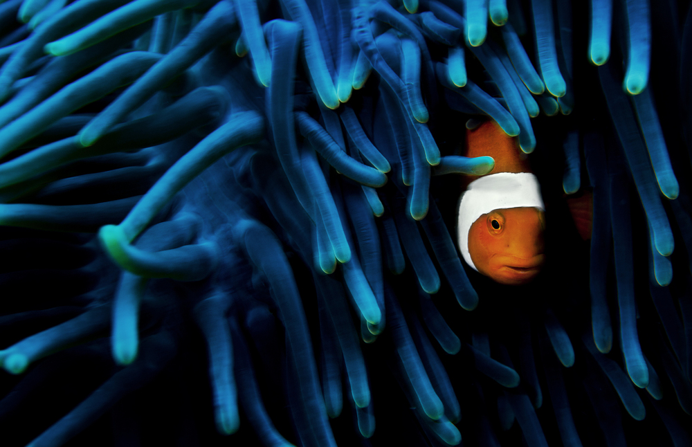 Hiding in its anemone host, this clown anemonefish is well protected. Many anemones harbor symbiotic algae, making them dependent on light to some extent. They are perhaps best known for their effective stinging poisons, which can cause major swelling and irritation for humans, and are downright lethal to small fish. The anemonefish, however, is protected by chemical stimuli mimicking those of the anemone, making the stingers unable toreact to the movement of the fish.