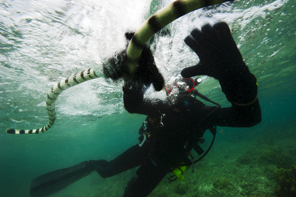 Venom expert Zoltan Takacs grabs a yellow-lipped sea krait in Fijian waters. This snake's toxic bite causes paralysis, which keeps its strong and speedy eel prey from escaping.