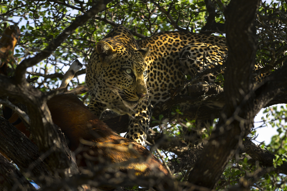 The leopard is so strong and comfortable in trees that it often hauls its kills into the branches. By dragging the bodies of large animals (such as this impala buck in foreground) aloft it hopes to keep them safe from scavengers such as hyenas. Leopards can also efficiently hunt from trees, where their spotted coats allow them to blend with the leaves until they spring with a lethal pounce. Leopards are also successful nocturnal predators that stalk antelope, deer, and pigs by stealthy movements in tall grass or wooded areas.