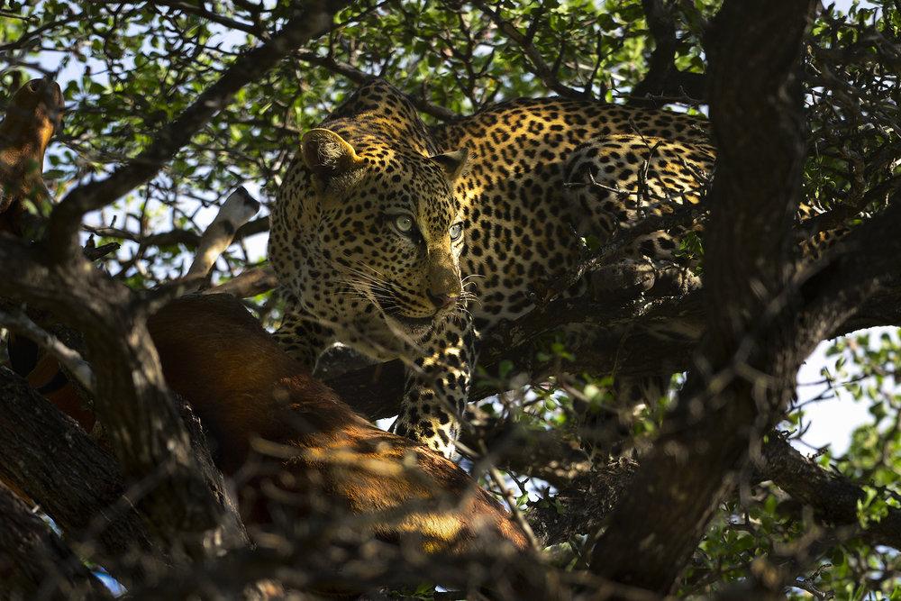 _MK20041 - Leopard.jpg