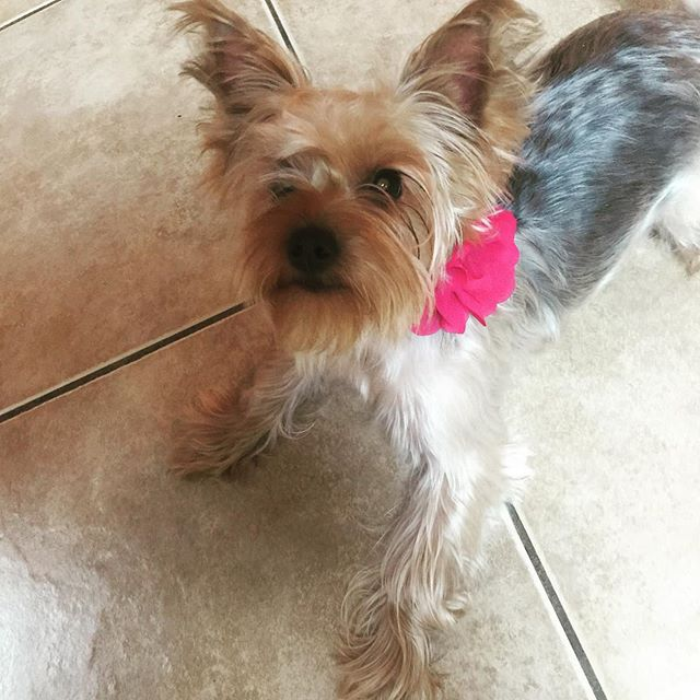 A warm welcome home from little Miss Daisy. I missed her so much!! #yorkie #yorkiemommylove #warmwelcomehomeforme🐶