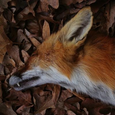 RED FOX BY FRITZ FLOHR REYNOLDS.jpg
