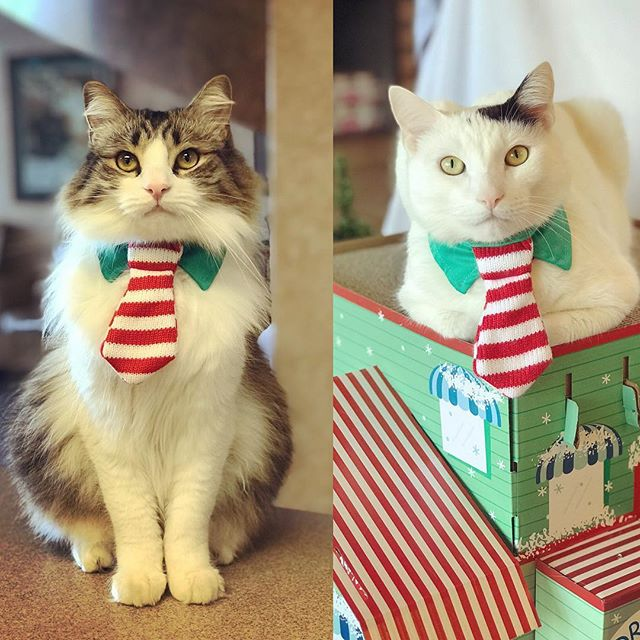 Dear Santa, We've been very good this year! love, Spotty & Pierre  #catclinicvet #caturday #keepcalmandlovecats