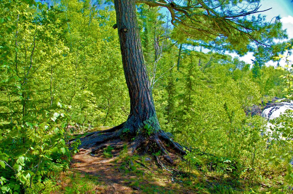 Pine at Kawishiwi Falls.jpg