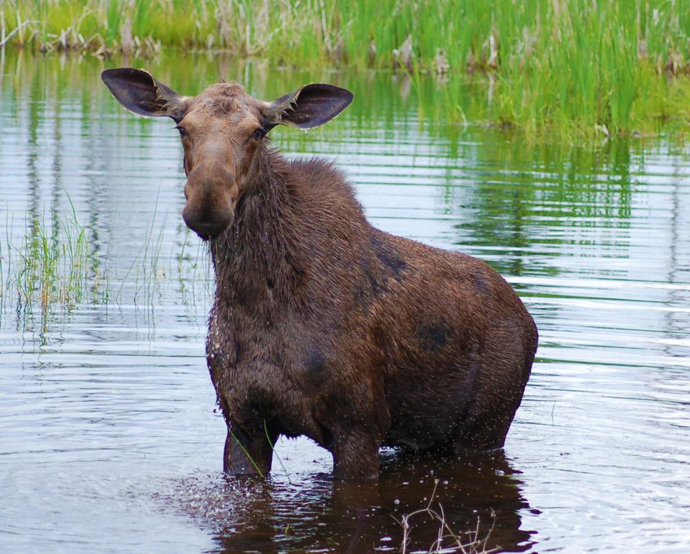 Cow Moose.jpg
