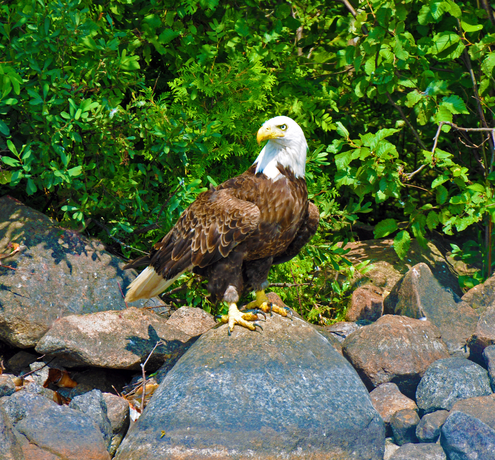 Eagle on rock.jpg
